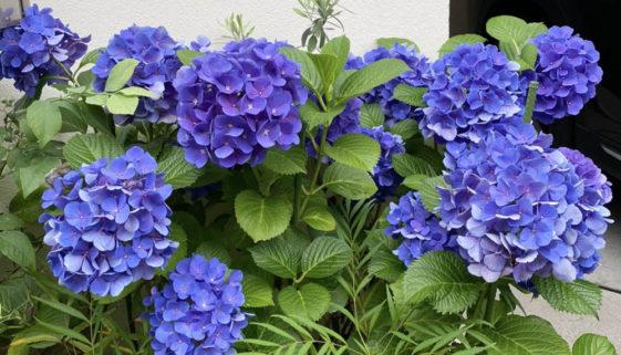 紫陽花が花盛り